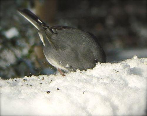 slate colored junco in snow