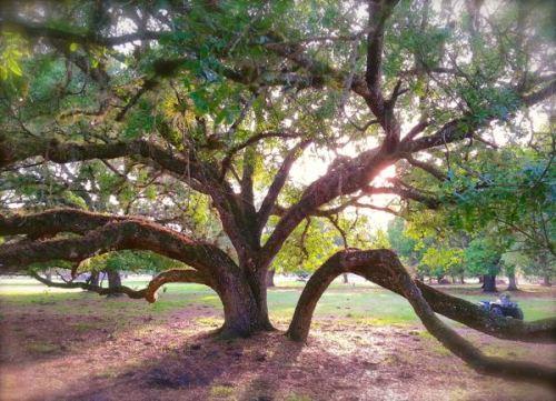 old live oak tree