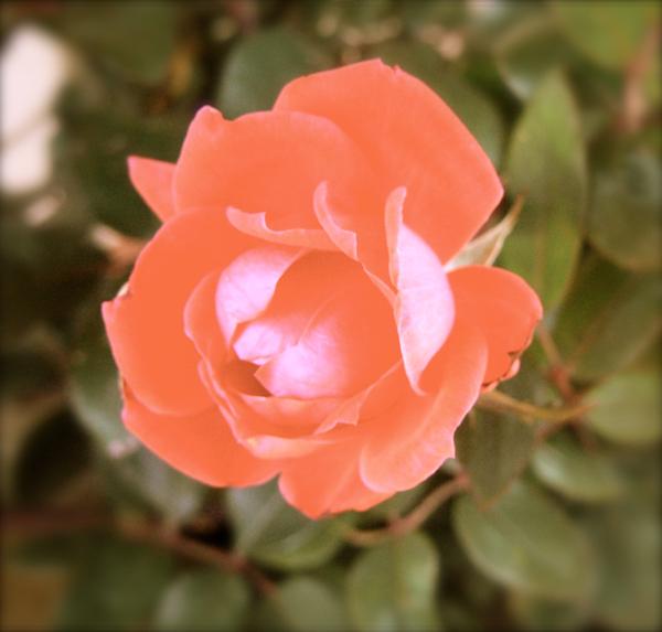 anitque rose blossom