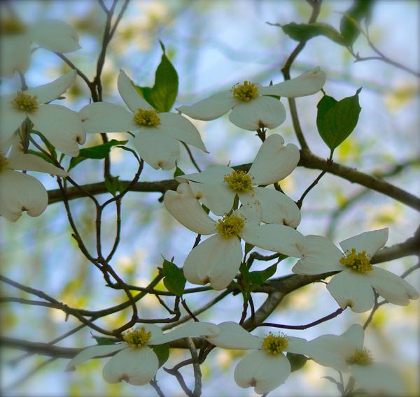 dogwood blossoms in the smokies