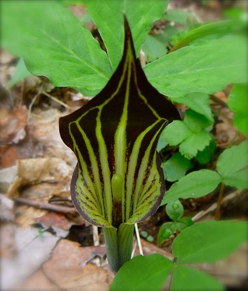 Jack-in-the-Pulpit smoky mountains