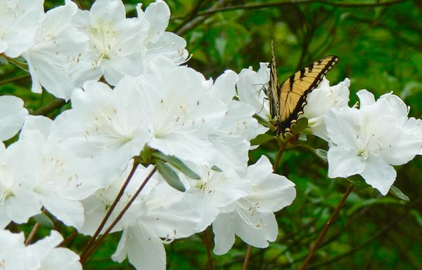 swallowtail on azalea bloom