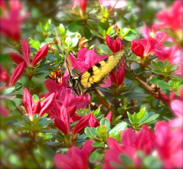 swallowtail on azelea