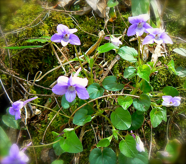 beaked  violets in the smoky mountains