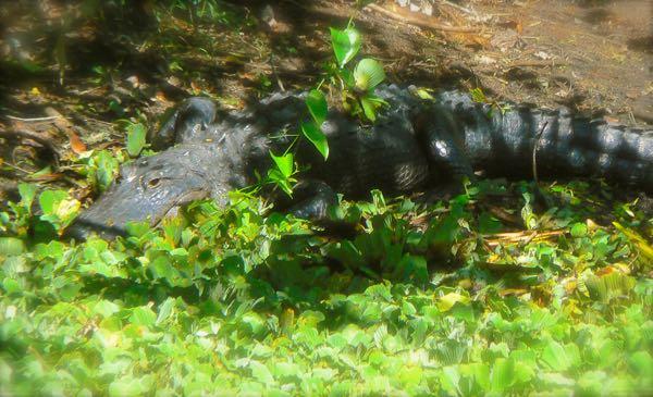 alligator at corkscrew swamp sanctuary