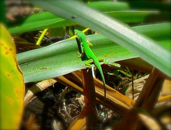 anolis at corkscrew swamp sanctuary