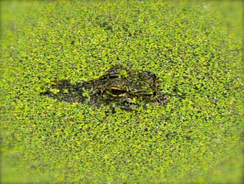 baby gator at lovers key state park