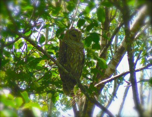 barred owl at corkscrew swamp sanctuary