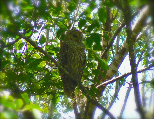 barred owl at corkscrew swamp sanctuary