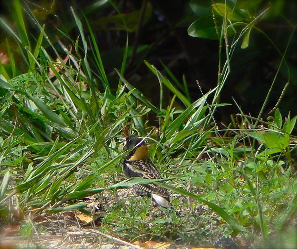 bobolink in ding darling national wildlife refuge