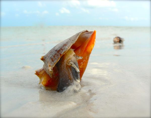 conch shell on sanibel island