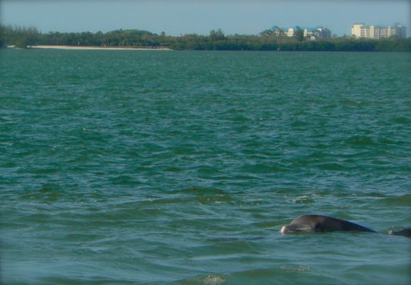 dolphins at lighthouse beach park on sanibel