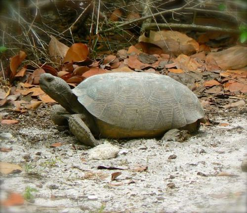 gopher tortoise at  lovers key state park
