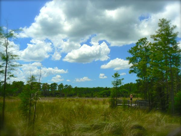 grassy field at corkscrew swamp sanctuary