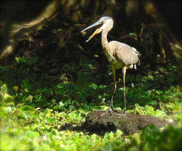 great blue heron at corkscrew swamp sanctuary