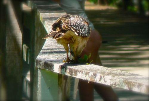 hawk eating crawdad at corkscrew swamp sanctuary