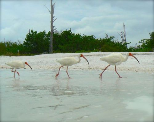 ibis  at lovers key state park