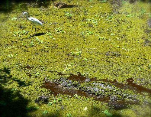 immature heron and gator at corkscrew swamp sanctuary
