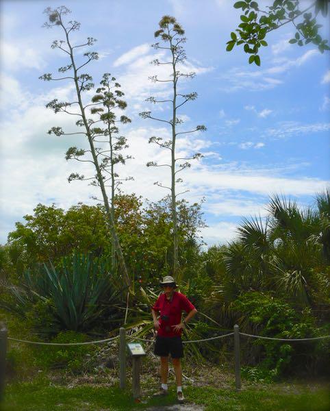 large century plant bloom