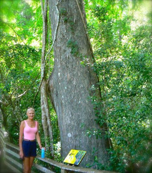large cypress tree at corkscrew swamp sanctuary
