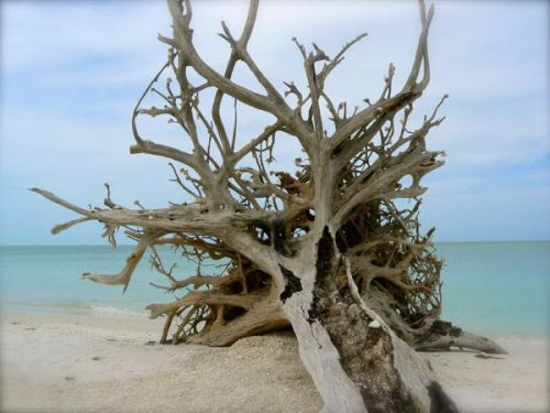 old tree snag at Lovers Key state park