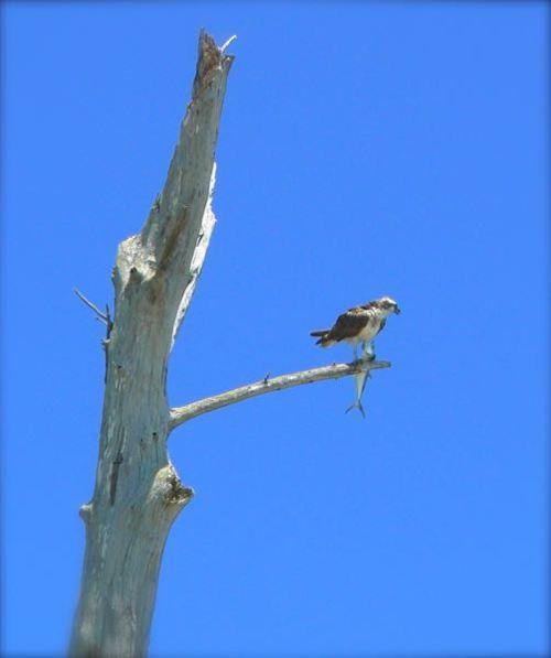 osprey at Lovers Key state park