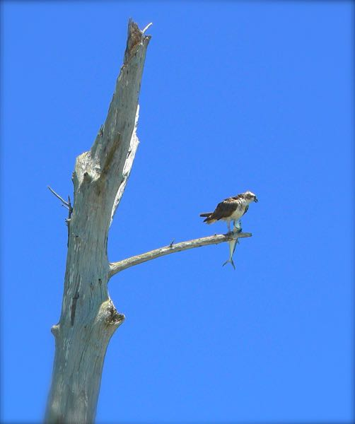 osprey at Lovers Key state park