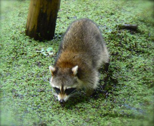 raccoon at corkscrew swamp sanctuary