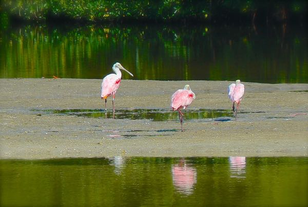 roseate spoonbill in ding darling national wildlife refuge
