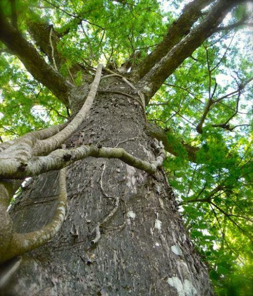 strangler fig in corkscrew swamp sanctuary