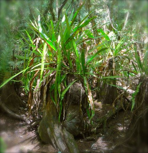 strap fern in corkscrew swamp sanctuaryjpg