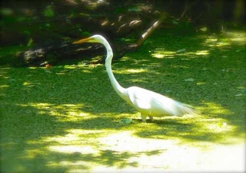 white egret at corkscrew swamp sanctuary
