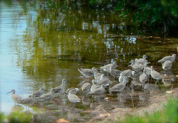willets at ding darling national wildlife refuge
