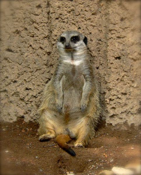 cute meerkat photo