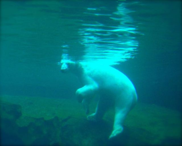 polar bear at the louisvilee zoo