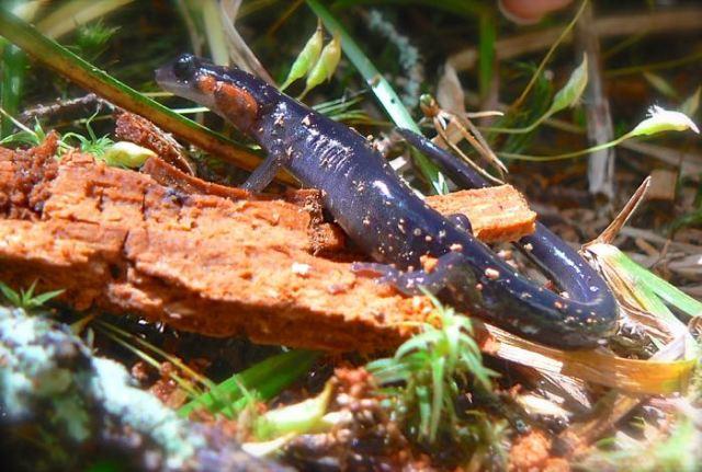 red-cheeked salamander