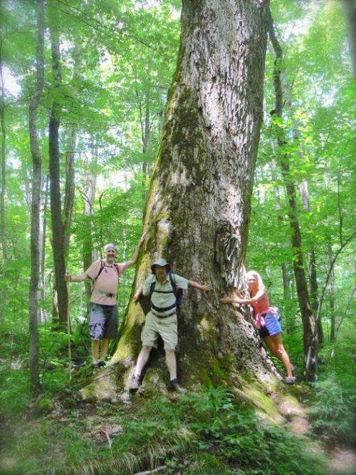 virgin timber in elkmont