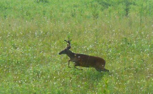 white-tailed buck in cades cove in july - 1