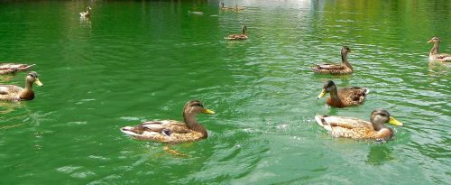 ducks swimming with banded water snake photo - 1