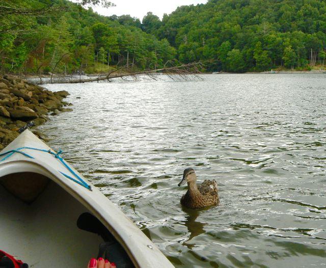 kayaking with ducks on lake glenville - 1