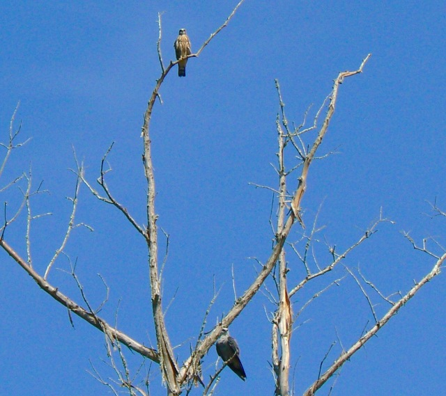 Mississippi Kites on the Flint River - 1