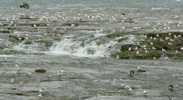 gulls by three sisters islands at niagara falls state park