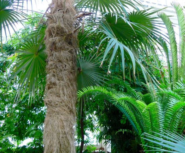 old man palm tree at Buffalo and Erie County Botanical Gardens - 1