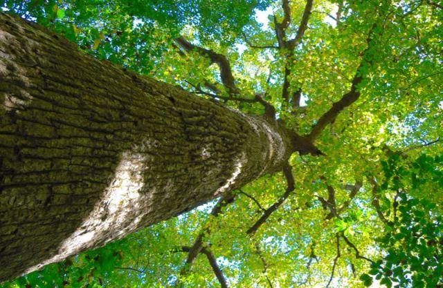 big tree at joyce kilmers forest - 1