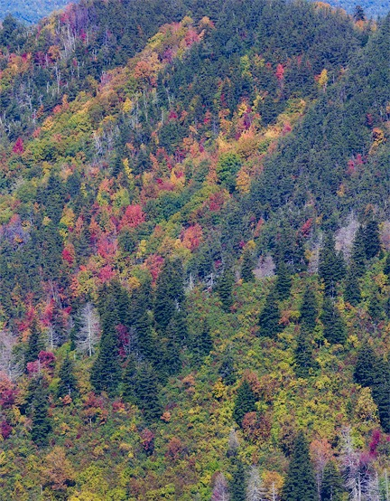 fall color on trail to charlies bunion in the Smokies