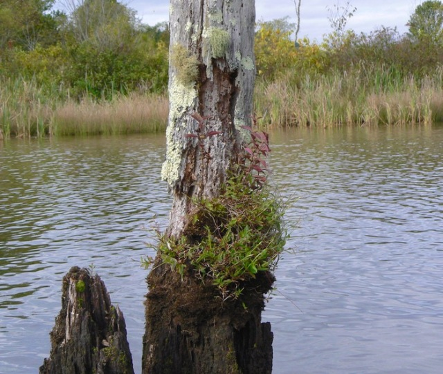 old snag in the tennessee river - 1