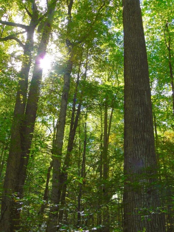 tall trees at joyce kilmer memorial forest - 1