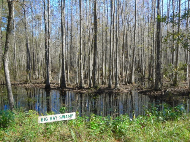 big bay swamp at birdsong nature center - 1
