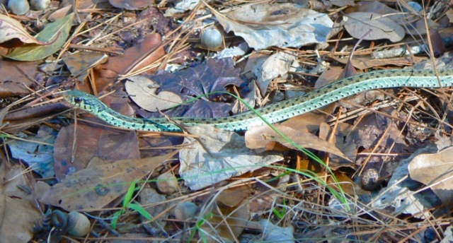 garter snake photo at birdsong nature center - 1