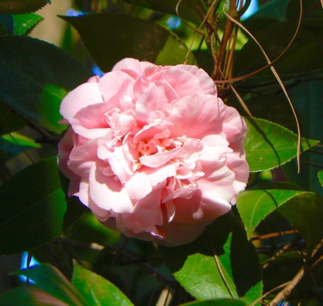 pink camilia blossom - 1